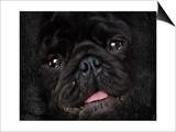 Black Pug Portrait Prints by Jai Johnson