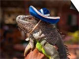 Iguana Wearing a Sombrero in Cabo San Lucas Prints by Danny Lehman
