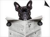 Newspaper Bulldog Print by Javier Brosch