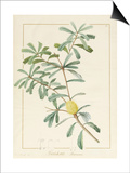 Banksia Marcescens, 1813 Prints by Pierre Joseph Redoute