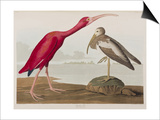 Illustration from 'Birds of America', 1827-38 Print by John James Audubon