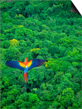 Scarlet Macaw Flying over Rainforest Prints by Jim Zuckerman