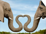 Elephants Making Heart Shape with Trunks Prints by Dianna Sarto