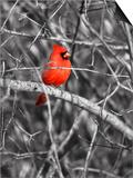 Northern Cardinal Bird on the Branch Affiches par  SNEHITDESIGN