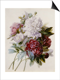 Bouquet of Red, Purple and White Peonies Poster by Pierre Joseph Redouté