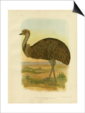 Emu, 1891 Print by Gracius Broinowski