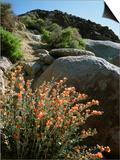 California, Sierra Nevada, Alabama Hills, Apricot Mallow Backlit Prints by Christopher Talbot Frank
