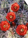 California, Joshua Tree National Park, Claret Cup Cactus Wildflowers Poster by Christopher Talbot Frank