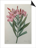 Oleander Posters by Pierre-Joseph Redoute