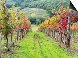 Europe, Italy, Tuscany. Vineyard in the Chianti Region of Tuscany Kunst af Julie Eggers