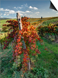 Italy, Tuscany. Vineyard in Autumn in the Chianti Region of Tuscany Posters af Julie Eggers