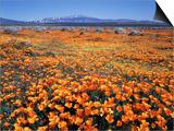 California, Antelope Valley, California Poppy Below the Tehachapi Mts Print by Christopher Talbot Frank