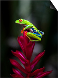 Red-Eyed Tree Frog. Sarapiqui. Costa Rica. Central America Posters by Tom Norring