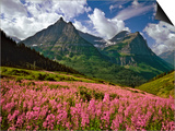 Fireweed Blooms in Glacier National Park Print by Steve Terrill