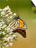Monarch Butterfly Posters by Gary Carter