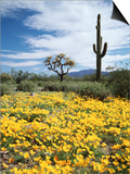 Organ Pipe Cactus Nm, Saguaro Cactus and Desert Wildflowers Posters by Christopher Talbot Frank