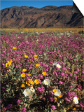 California, Anza Borrego Desert Sp, Wildflowers in Desert Posters by Christopher Talbot Frank