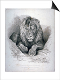 Nero, a Lion from Senegal, Now Exhibiting in the Tower of London, 1814 Plakat af Edwin Henry Landseer