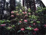 California, Del Norte Redwood Sp, Rhododendron in Coast Redwood Forest Prints by Christopher Talbot Frank