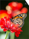 Monark Butterfly Posters by Gary Carter