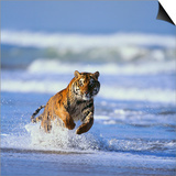 Bengal Tiger Running in Surf Poster by  DLILLC
