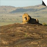 African Male Lion Affiches par Mary Ann McDonald