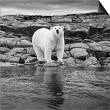 Polar Bear on Harbour Islands, Hudson Bay, Nunavut, Canada Art by Paul Souders