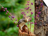 Eastern Chipmunk Posters by Gary Carter