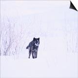 Black Wolf in Snow Prints by  DLILLC