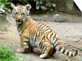 A Three Month Old Siberian Tiger Cub at the Duisberg Zoo in Germany Art