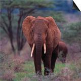 African Elephant Walking Prints by  DLILLC