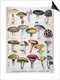 Good and Bad Mushrooms, 1896 Poster