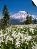 USA, Washington, Mount Rainier NP. Avalanche Lilies and Mount Rainier Art by Jaynes Gallery