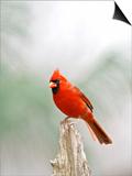 Northern Cardinal Poster by Gary Carter