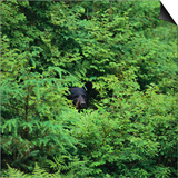 Black Bear Hiding in Forest Print by  DLILLC