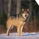 Gray Wolf in Snow Posters by  DLILLC