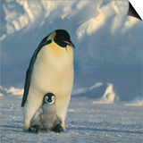 Emperor Penguin with Chick on Feet Posters by  DLILLC