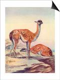 Llama, Guanaco 1909 Prints by Winifred Austen