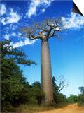 Baobab Tree Posters