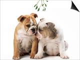 Bulldog X2 Puppies Posters