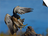 Peregrine Falcon Landing Posters by W. Perry Conway