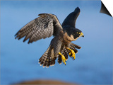 Peregrine Falcon in Flight Prints by W. Perry Conway