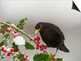 Blackbird Male Feeding on Holly Berries Prints
