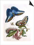 Butterfly Illustration by Maria Sibylla Merian Prints