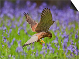 Kestrel Male Hunting in Bluebells Prints