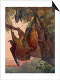 Indian Flying Foxes, Bats Posters by Winifred Austen