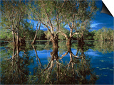 Paperbark Forest Weeping Paperbark in Billabong Posters