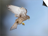 Common Kestrel Hovering Poster