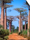 Boab Tree Prints