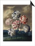 A Group of Carnations Poster